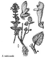 Scutellaria rubicunda