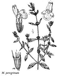 Marrubium peregrinum