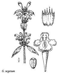 Galeopsis segetum