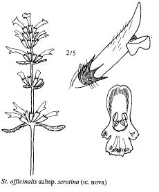 Stachys officinalis subsp. serotina