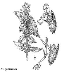 Immagine Stachys germanica