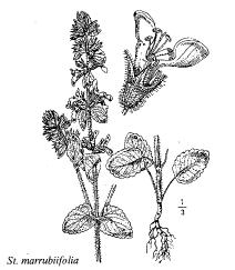 Stachys marrubiifolia