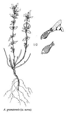 Acinos granatensis