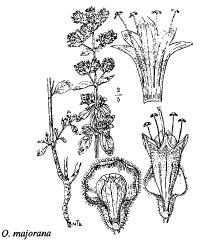 Origanum majorana