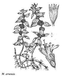 Mentha arvensis