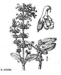 Salvia triloba