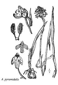 Anacamptis pyramidalis
