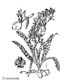 Orchis provincialis