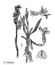 Orchis romana
