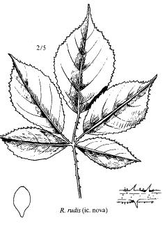 Rubus rudis