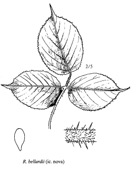 Rubus bellardii