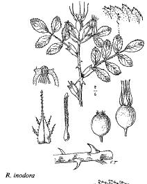 Rosa inodora