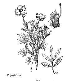 Potentilla fruticosa