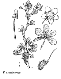 Potentilla crassinervia