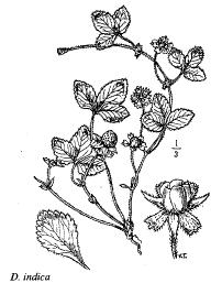 Duchesnea indica