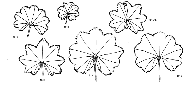 Alchemilla Vulgares subser. Subglabrae