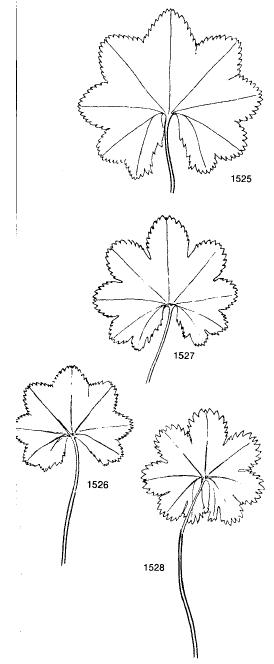 Alchemilla Calycinae