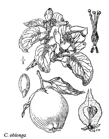 Cydonia oblonga