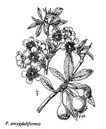 Pyrus amygdaliformis