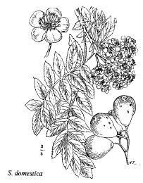 Sorbus domestica