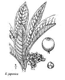 Eryobotrya japonica