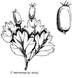 Crataegus macrocarpa
