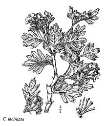 Crataegus laciniata