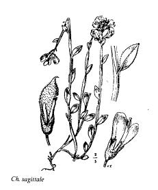 Chamaespartium sagittale
