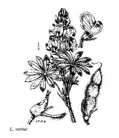 Lupinus varius