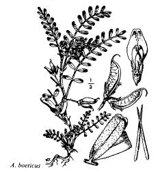 Astragalus boeticus