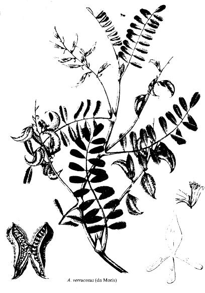 Astragalus verrucosus