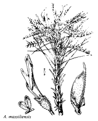 Astragalus massiliensis