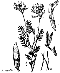 Astragalus muelleri