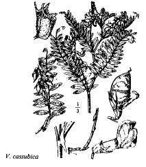 Vicia cassubica