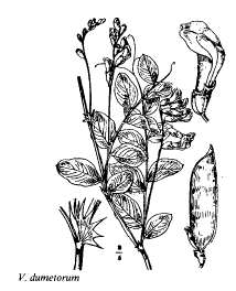 Vicia dumetorum