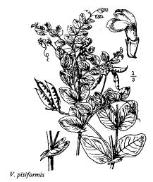 Vicia pisiformis