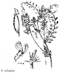 Vicia sylvatica