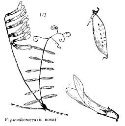 Vicia pseudocracca
