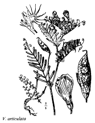 Vicia articulata