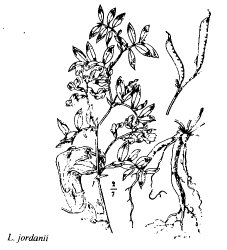 Lathyrus jordanii