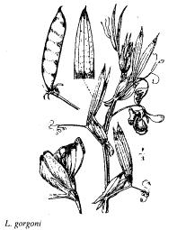 Lathyrus gorgoni