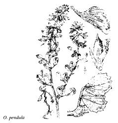 Ononis pendula