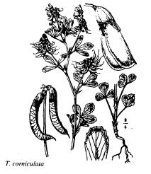 Trigonella corniculata