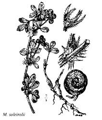 Medicago soleirolii