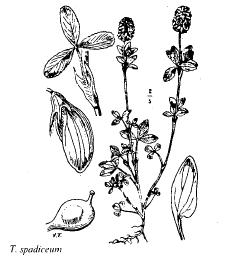 Trifolium spadiceum