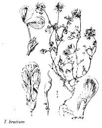 Trifolium brutium