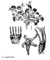 Trifolium congestum