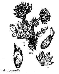 Anthyllis vulneraria subsp. pulchella