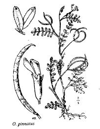 Ornithopus pinnatus