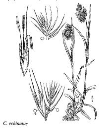 Cynosurus echinatus
